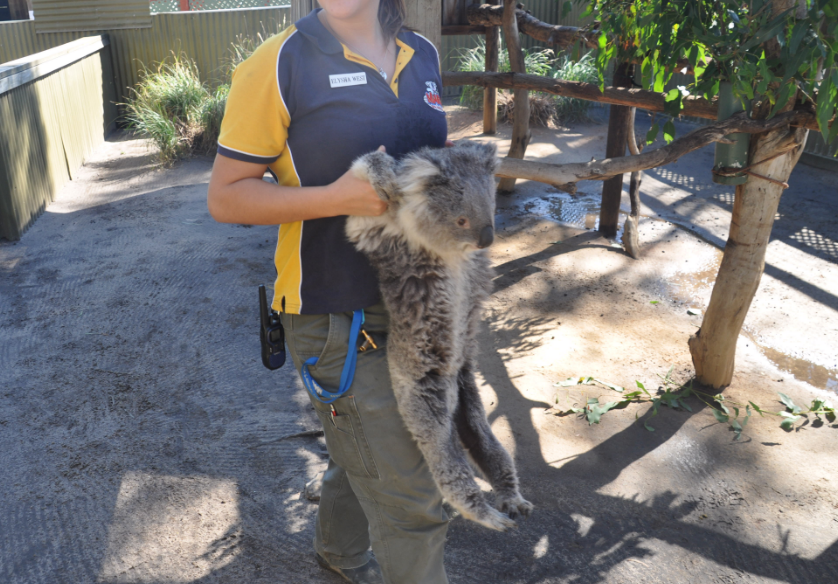 Koala being carried